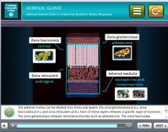 Tri-C 3D Stress Simulation Training - Adrenal gland Screen