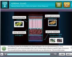 Tri-C 3D Stress Simulation Training - Adrenal gland Screen